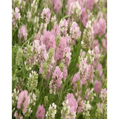 Rosea English Lavender Seeds-REL01